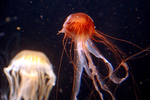Jellyfish: Jellyfish are free-swimming members of the phylum Cnidaria. Jellyfish have several different morphologies that represent several different cnidarian classes including the Scyphozoa (over 200 species), Staurozoa (about 50 species), Cubozoa (about 20 specie