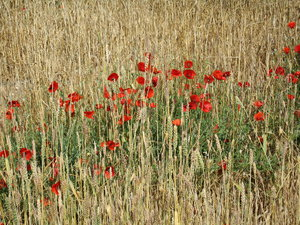 Field of poppies: A poppy field in Calis,Turkey