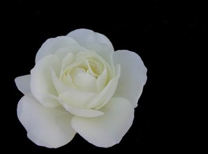 White Rose: The most white
