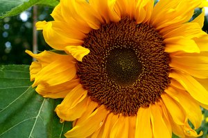 Sunflower: The mighty sunflower rather close up