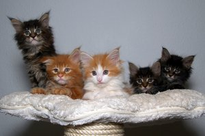 Maine coons kittens: No description