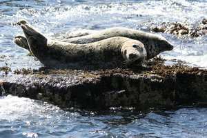 Atlantic Grey Seals 5: Atlantic grey seals photographed at the farne islands off the Northumberland coast U.K.