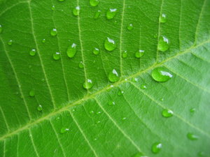 leaf droplets 2