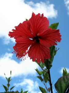 red hibiscus: No description