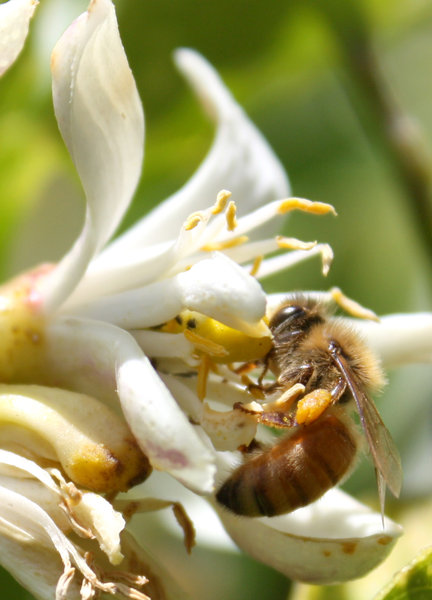 bee busy: a bee busy attending to a lemon blossom