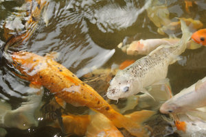 Koi: A startling fact: Koi can live for centuries! The longest living fish (documented) lived an astonishing 226 years!