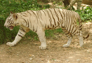 White Tiger: no description