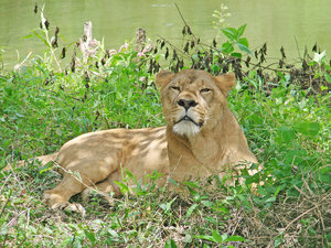 Lioness: no description