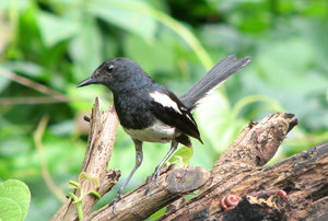 Oriental Magpie Robin: no description