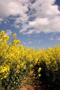 Rapeseed and Sky: Field of rapeseed against blue cloudy sky