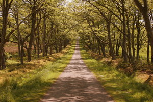 Bavelaw Avenue: Road through avenue of trees