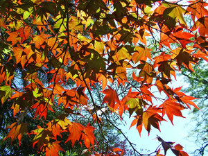acer backlit by the sun: Im happy for anyone to use any of my shots restriction free. I would only ask that they not be used for political, sexual or hate purposes, in keeping with the spirit of SXC.Also I would appreciate a quick mail to let me know how you've used the shot, jus