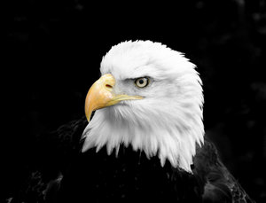 Bald Eagle: Im happy for anyone to use any of my shots restriction free. I would only ask that they not be used for political, sexual or hate purposes, in keeping with the spirit of SXC.Also I would appreciate a quick mail to let me know how you've used the shot, jus