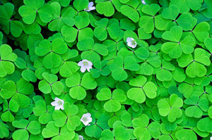 Wood Sorrel 2: Fresh green Wood Sorrel