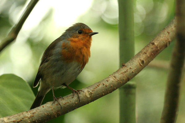 Indoor Robin: Robin on a branch inside a greenhouse