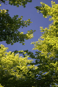 Leaves and Sky: View of blue sky through canopy of backlit leaves