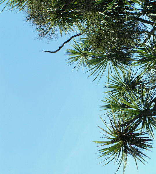 Tree corner: Cabbage tree corner - the foliage of these cordylines against the sky can be appealing