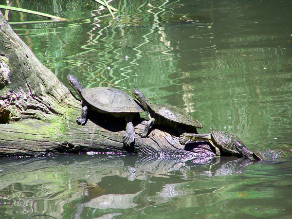How many turtles?