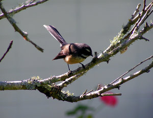 Fantail of New Zealand 2: »  Fantail of New ZealandNative bird of New Zealand, the Fantail, rhipidura fuliginosa, has an erratic acrobatic flight that makes it hard to capture on camera! A restless, irrepressible, cheeky little bird, it likes open bush, forest edges a