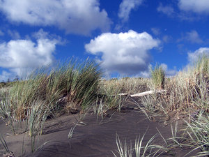 Sand dune grasses: black sand beach on West coast  of New Zealand.  The black sand is mined for its iron content and pumped underground to a mill nearby for iron manufacture.