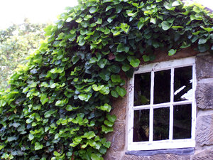 ivy covered window: ivy covers window of historic cottage
