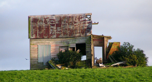 Once was a home: Abandoned farm cottage, now shelters animals - note the sheep in the doorway