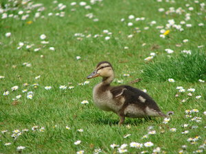 small cute baby duck: small cute baby duck on a wonderfull spring day, and green surroundings 
