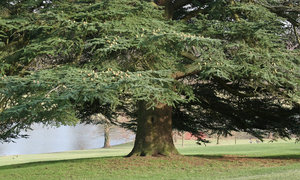 Lakeside conifer: A very large conifer beside a lake in Kent, England, in early spring.