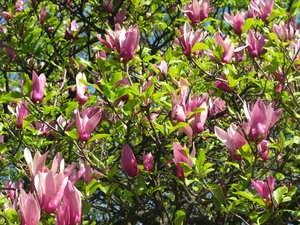 magnolia tree: none