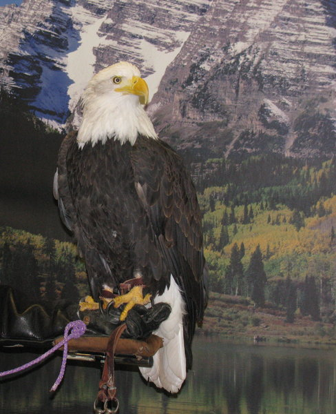 Bald Eagle: A Bald Eagle on display at an event. If I'm not mistaken, it was seized from a poacher but had health issues and couldn't be returned to the wild.