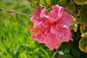 Pink double Hibiscus