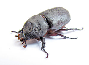 Rhinoceros Beetle: no description
