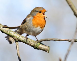 Singing Robin: Robin singing on a branch