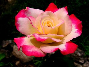 A Rose for You: Colorful Rose in full bloom