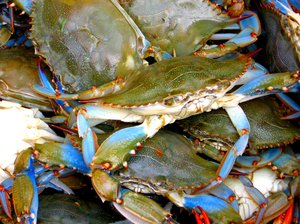 Blue Crab: Chesapeake Bay delicacy, the Blue Crab. These were taken in Virginia
