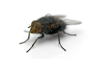 The Fly: This fly was sitting in my lightbox, I couldn't resist... :-)1sec exposure time :-) and still living