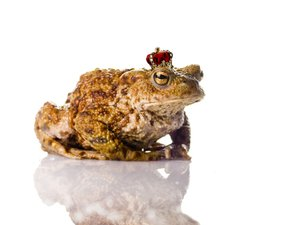 The Toad Prince: The Toad Prince on a white reflective surface