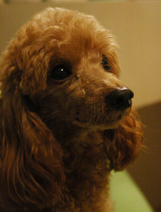poodle: the most beautiful poodle on the planet...  Marge!