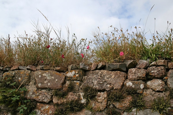 Welsh wall: An old stone wall with summer flowers on the Gower, Wales.