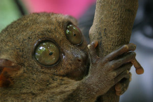 tarsiers 2: the last of the monkey shots... i promise!