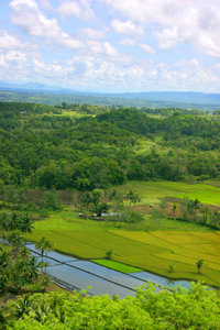 rice fields: rice fields