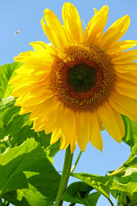 Sunflower Sunshine 5