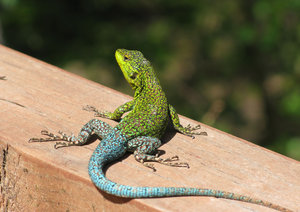colorful lizard: none