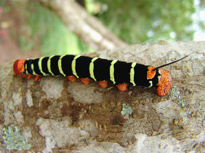 > caterpillar 2007: Lagarta em Pirenópolis, Vaga Fogo, 2007Caterpillar in Pirenópolis, Vaga Fogo, Goiás, 2007It's free, however will be possible credits the photo.by Marcelo TerrazaFoto livre, porém se for possível credite a foto. Marcelo TerrazaComments and rank is wel