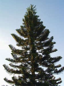 > Pine: PinheiroPineIt's free, however will be possible credits the photo.by Marcelo TerrazaFoto livre, porém se for possível credite a foto. Marcelo TerrazaComments and rank is welcome