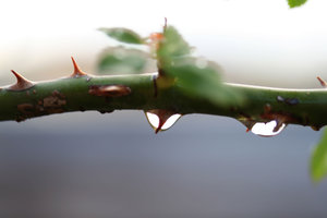 Thorndrops: rose branch with raindrops