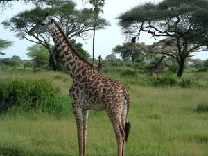 giraffe 3: photo taken in Tanzania