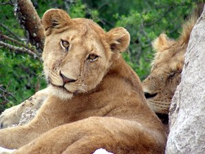 lazy lions 1: photo taken in Tanzania