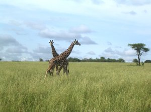 happy giraffes 1: photo taken in Uganda