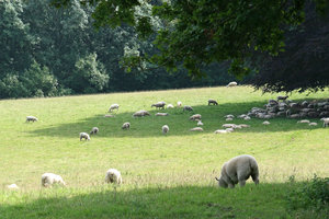 Lunchbreak: Sheep gathering to shelter from the hot sun in Surrey, England.